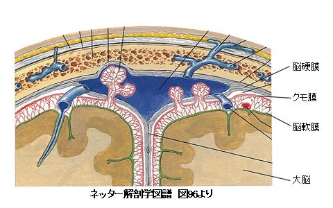 頭蓋骨・硬膜・クモ膜・軟膜の図