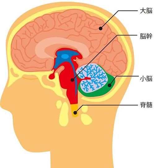 脳の解剖図